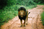 S Africa Lion